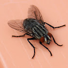 red-tailed flesh fly