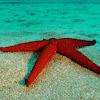 Estrella Espinosa Vermella