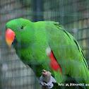 philippine parrot