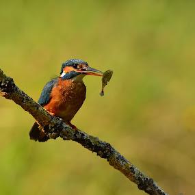 Holding on by David Cozens - Animals Birds ( bird, female, fish, kingfisher, branch, perch )