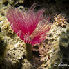 Feather duster worm