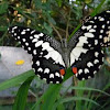 common lime butterfly, chequered swallowtail