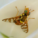 Breadfruit Fruit Fly