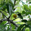 American Yellow Warbler