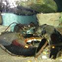 black American Lobster