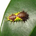Slug Caterpillar