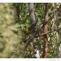 House Wren (juvenile)