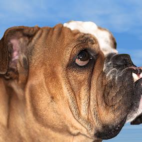 English Bulldog by Giovanni Bartolomeo - Animals - Dogs Portraits ( giobbyx )