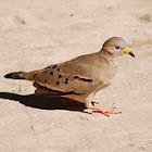 Croaking Ground Dove, Tortolita Quiguagua