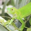 Green Iguana - baby