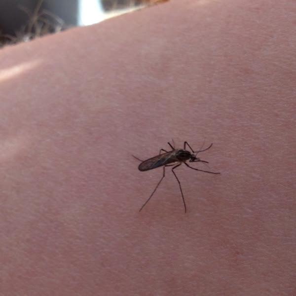 Common Mosquito - Project Noah Common Mosquito - 웹