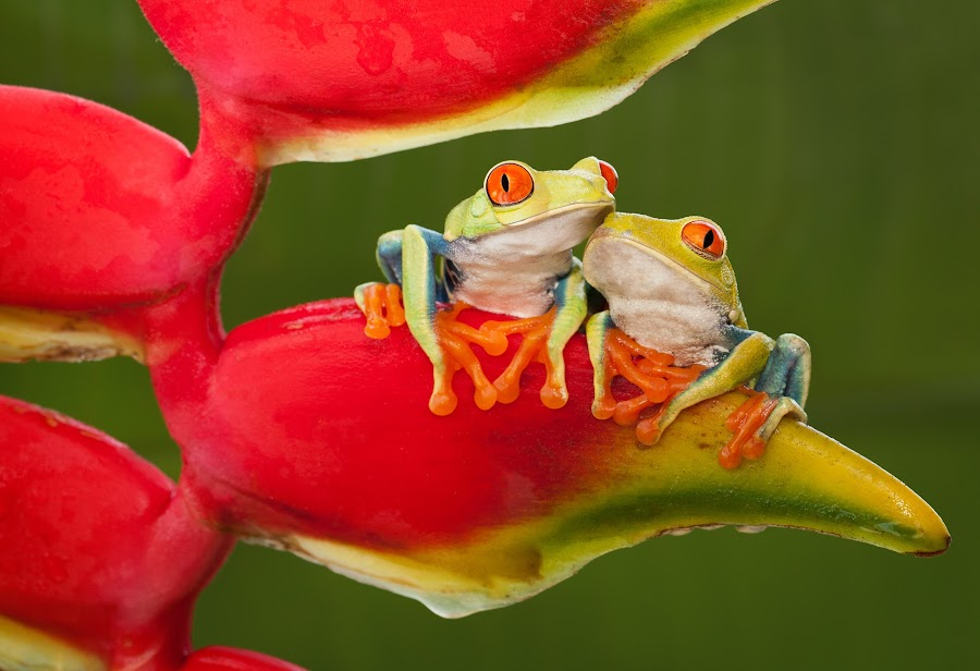 Best Friends by Cindy Kassab - Animals Amphibians ( two, anniversary, red-eyed tree frog, notecard, tropical, wildlife, frogs, animal,  )