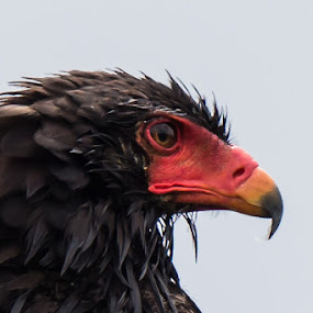 Bateleur by Martin Oosthuizen - Animals Birds ( bird, eagle, avian, bateleur, birding )