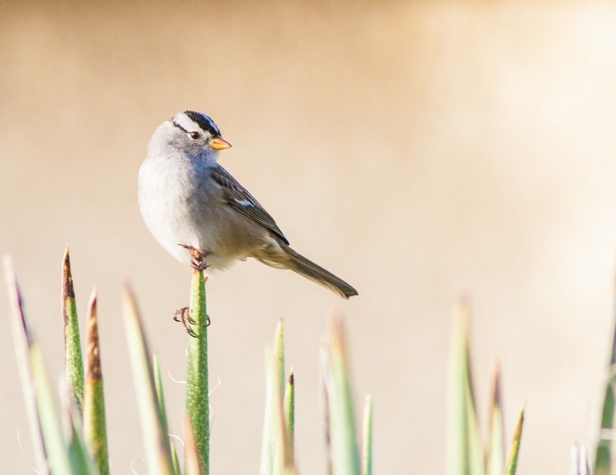 White Crowned Sparrow by Charlie Alolkoy - Animals Birds ( bird, arizona, white crowned sparrow, tucson, feather, sparrow )