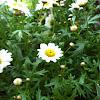 White Ox-eye Daisy