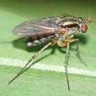 longlegged irridescent fly