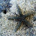 Common sea star/bintang laut