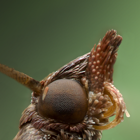 A close look at a moth by AhMet özKan - Animals Insects & Spiders ( micro, moth, eye )