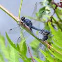 Slaty Skimmer Dragonflies Mating
