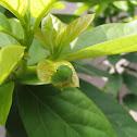 Graphium sarpedon caterpillar