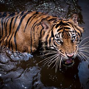 by Robert Cinega - Animals Lions, Tigers & Big Cats ( water grab · tiger · splash · king · jump ·,  )