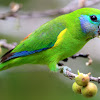 Double-Eyed Fig Parrot ( Female )