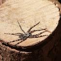 Dark Fishing Spider