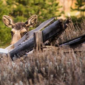 Peek-a-Boo Moose by RaeLynn Petrovich - Animals Other Mammals ( mountains, moose, colorado, wildlife, rustic )