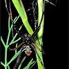 Northern Black Widow Spider - male