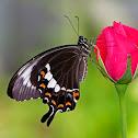 Fuscus Butterfly