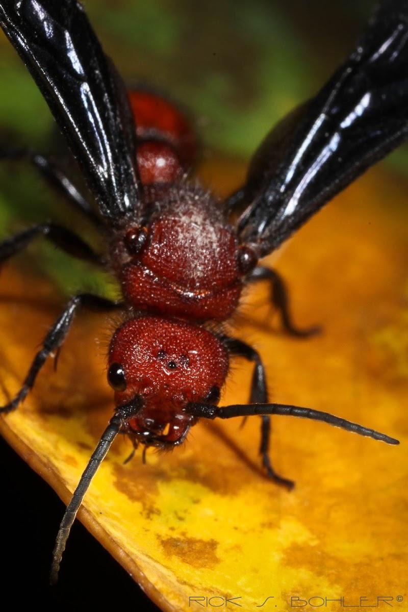 Velvet Ant/Cow Killer Ant male