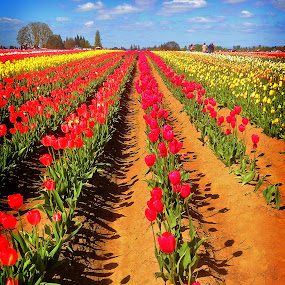 The Tulip Field by Todd Klingler - Instagram & Mobile iPhone ( field, red, sky, blue, green, tulip, white, cloud, festival, pink, yellow, flower,  )