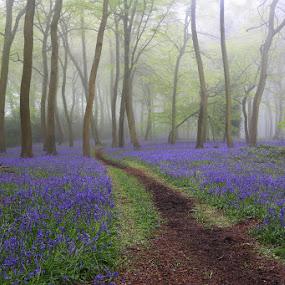 Pathway to Bluebell Heaven by Ceri Jones - Landscapes Forests ( woodlands, wood, forest, spring, bluebells, mist )