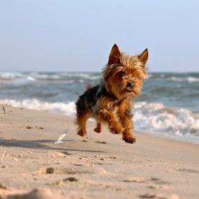 Beach Bum by Jeremy Church - Animals - Dogs Running ( water, beaches, lake michigan, dogs, yorkies )