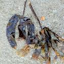 Horsetail kelp