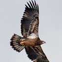 Aguila Calva (juvenil) Young Bald Eagle
