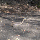 Common Scaly-Foot Legless Lizard