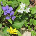 Spring Beauty, Celandine and Wood Violet