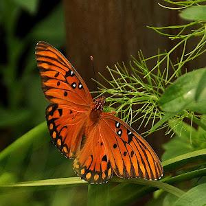 DSC_0489...butterfly.jpg