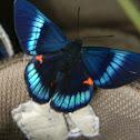 mariposa -- Bellona Metalmark
