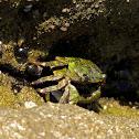 Striped Shore Crab