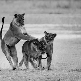 Play time by Adéle van Schalkwyk - Black & White Animals ( wild, lion, free, nature, play, fun, liones )
