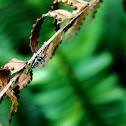 C. micans aka Jumping spider