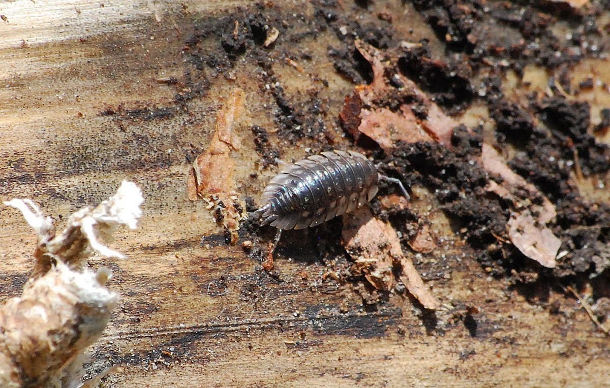 Spotted Pill Bug