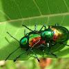 Dogbane beetles