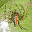 Orange backed Lynx Spider(Female)