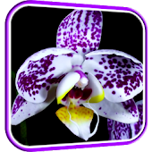 Orchid Video Live Wallpaper