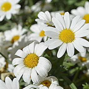 wit -geel  by Kathelijn Vlaemynck - Flowers Flowers in the Wild