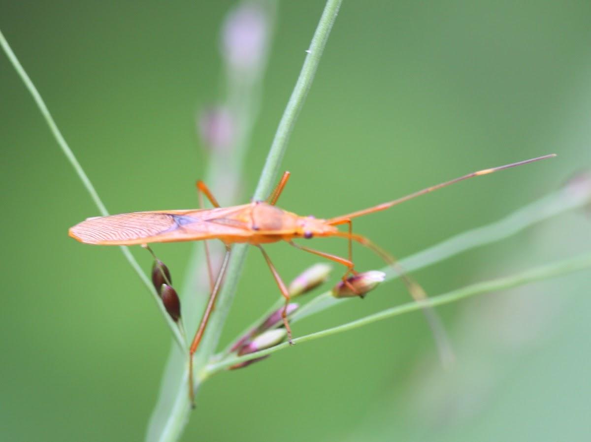 Rice bug