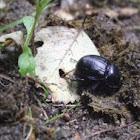Forest Dor Beetle